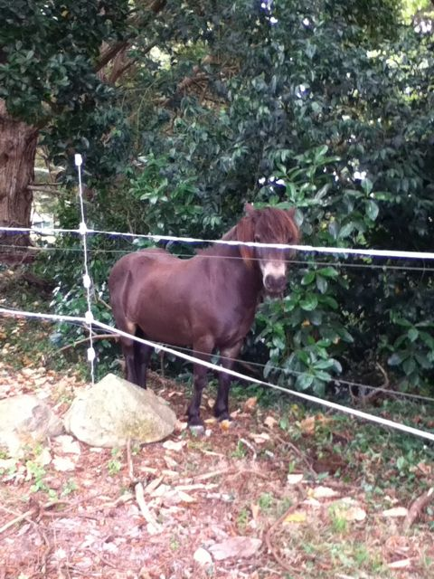 The Exmoor Pony in a bit of a tight spot.